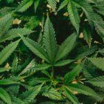 คกก. คุมยาเสพติด มีมติปลดล็อก กัญชา-กัญชง พ้นบัญชียาเสพติด