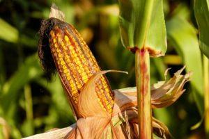เงินประกันรายได้เกษตรกรปลูกข้าวโพดเลี้ยงสัวต์