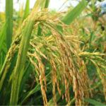 เงินประกันรายได้เกษตรกร ธ.ก.ส. โอนวันนี้ 2 งวดจ่ายกว่า หมื่นล้านบาท