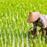 เงินประกันรายได้เกษตรกร จ่ายส่วนต่าง ประกันราคาข้าวรอบที่ 1 งวดที่ 5