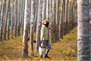 เงินประกันรายได้เกษตรกร ชาวสวนยางฯเฮ ได้รับส่วนต่างราคา งวด 2 ส่งท้ายปี