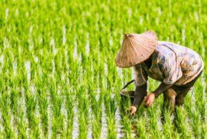 ตรวจสอบเงินประกันรายได้เกษตรกร ใครที่ยังไม่ได้เช็คด่วน
